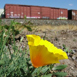 Trackside Poppy